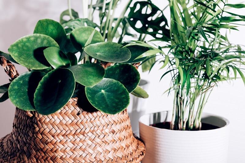 Párásítás szobanövényekkel
